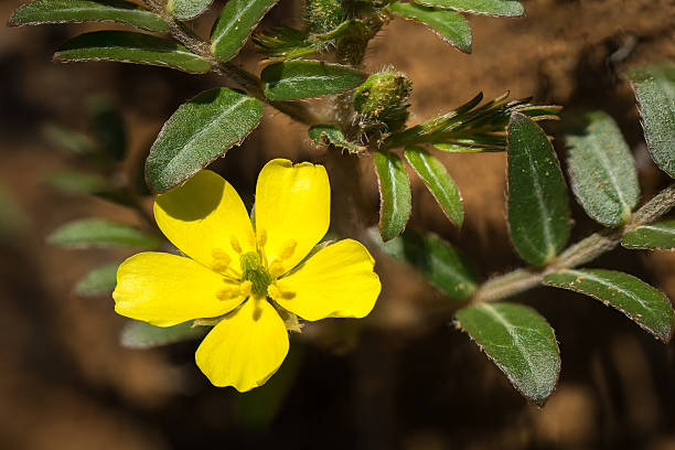 Tiger Power Tribulus Terestris